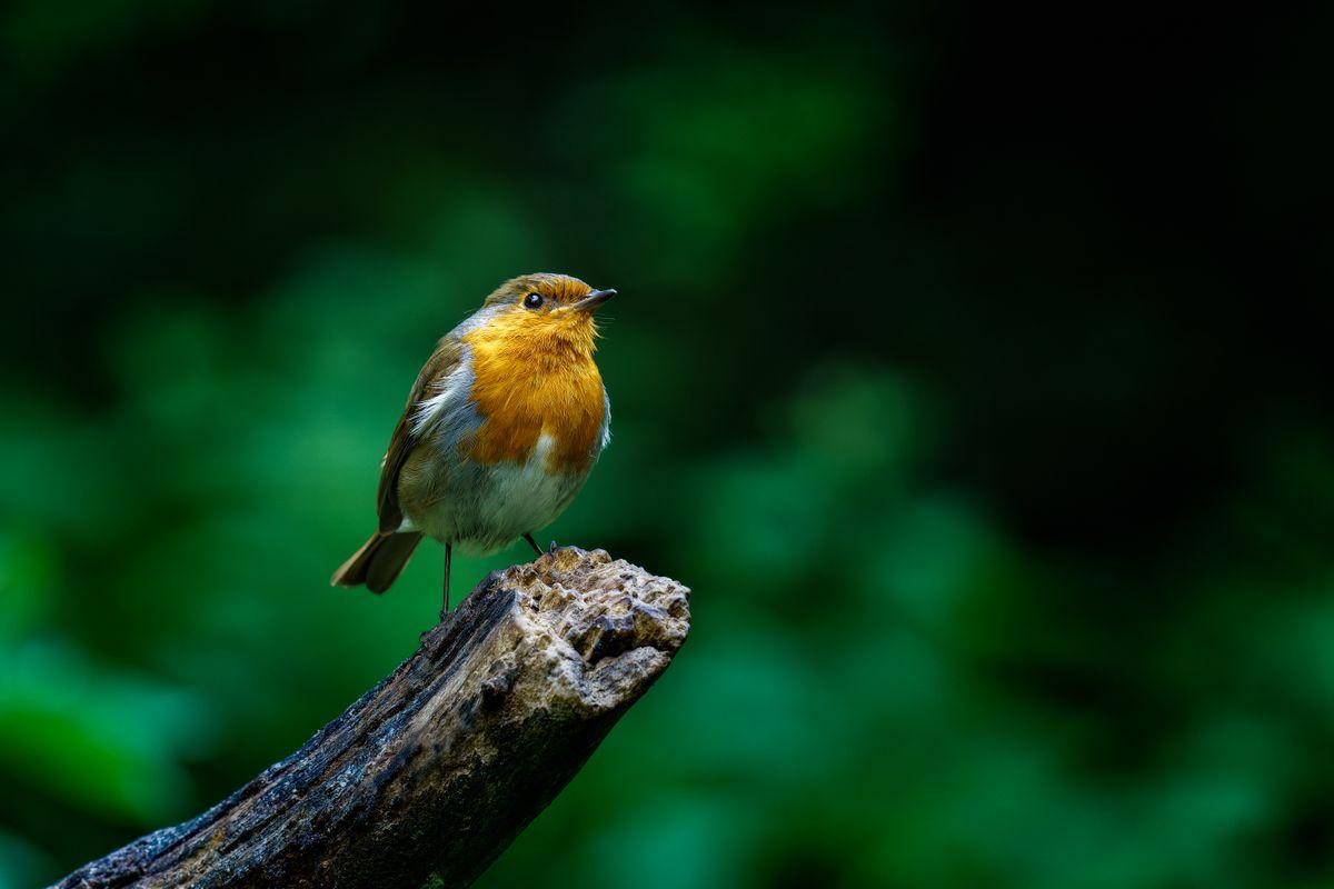 Robin(Erithacus rubecula) - Looking quite Regal
