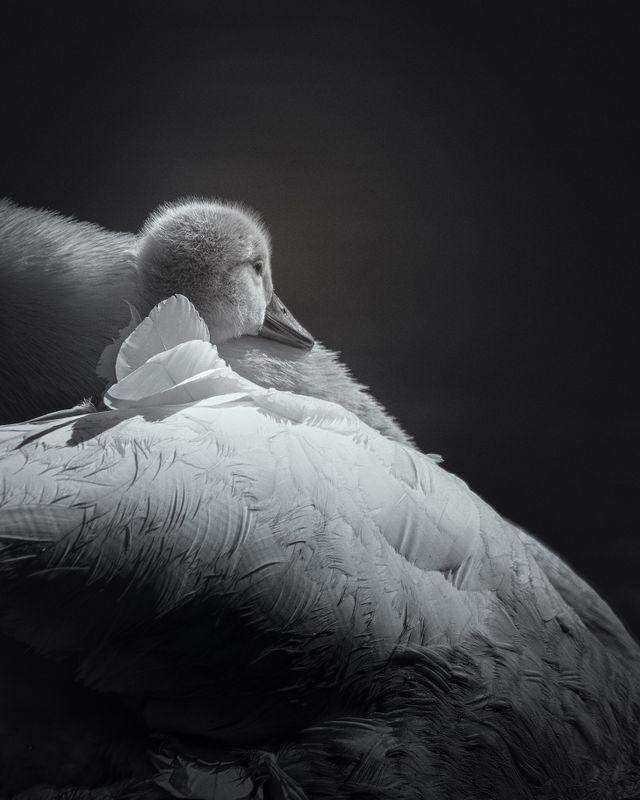 Mute Swan Cygnet(Cygnus olor) - We all need a warm, safe space