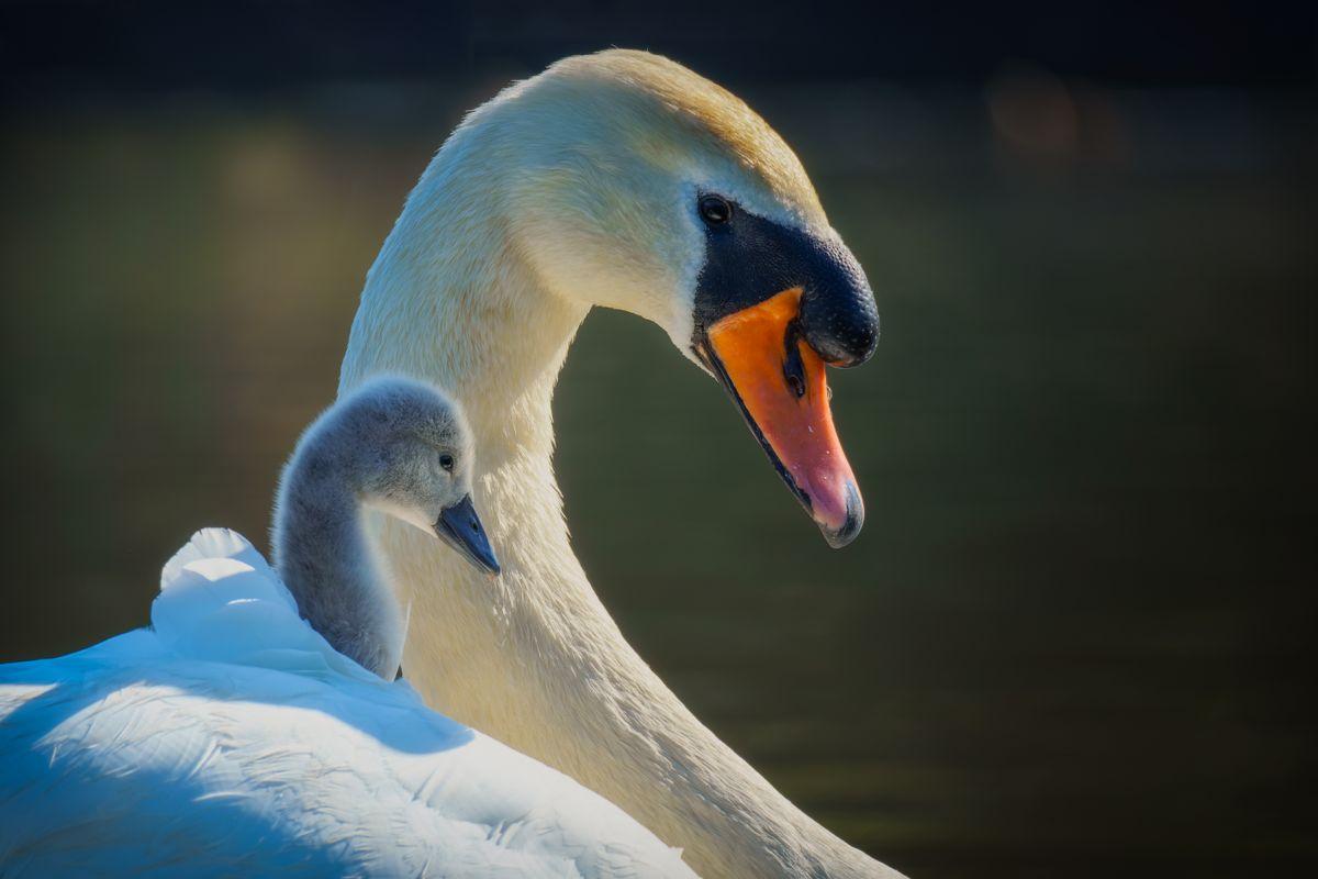 Swan(Cygnus olor) - Dad and Cygnet Close Up
