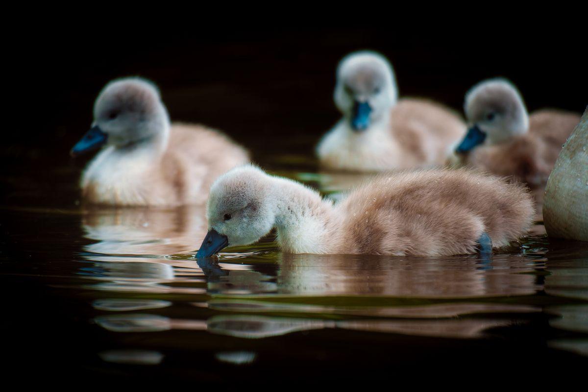 Mute Swan(Cygnus olor) - Cygnets