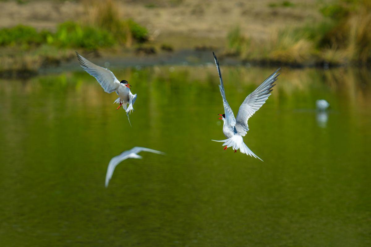 Common Terns(Sterna hirundo) - Mid Air Altercation