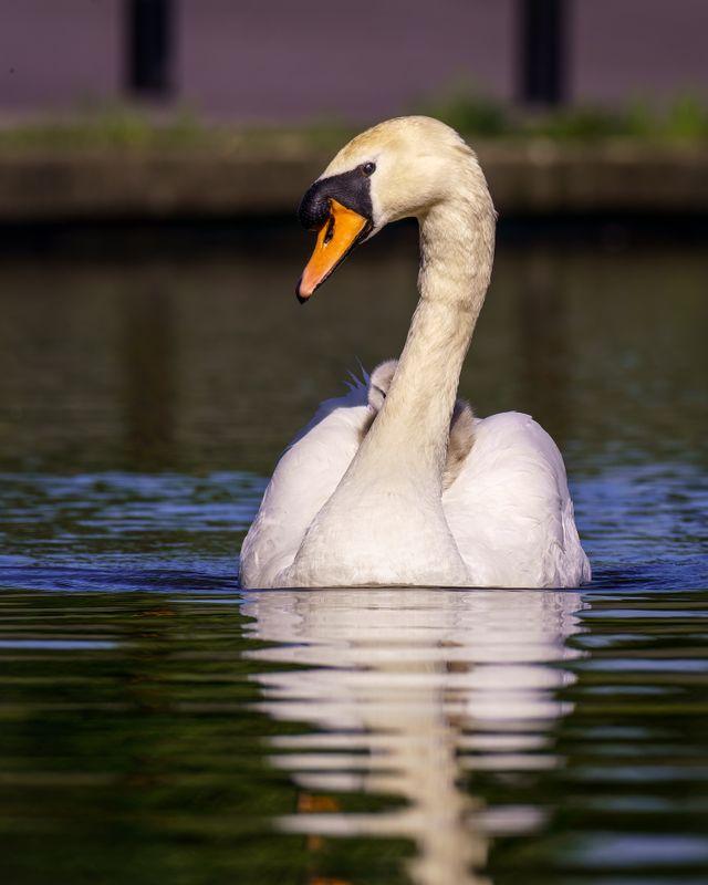 Swan(Cygnus olor) - Cygnet Playing Hide and Seek