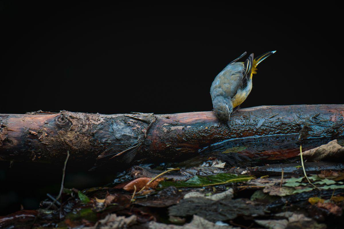 Grey Wagtail(Motacilla cinerea) - Looking for food on Weir