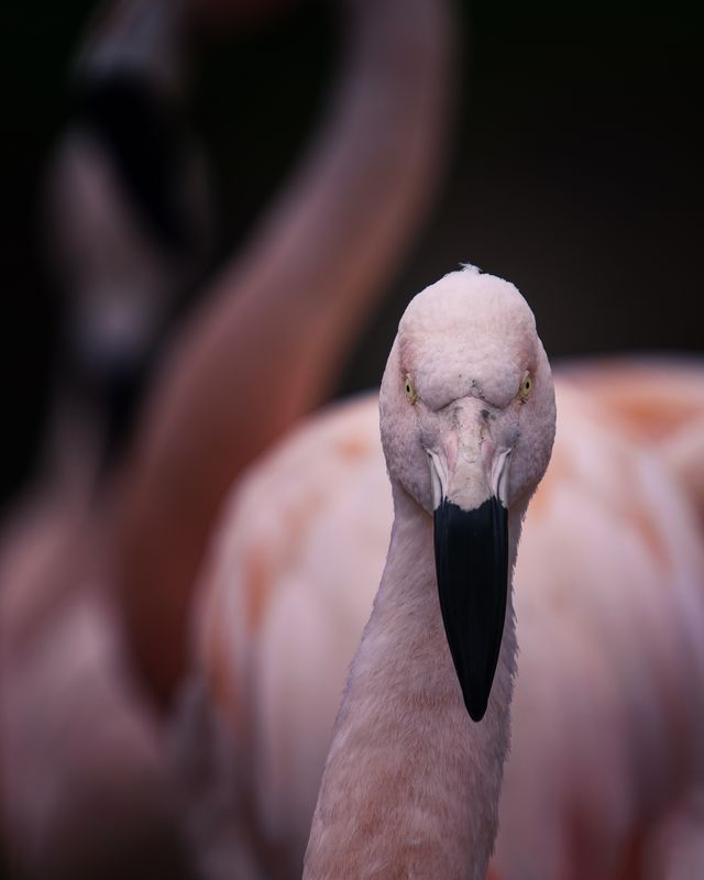 Chilean Flamingo(Phoenicopterus chilensis) - Staring down the lens