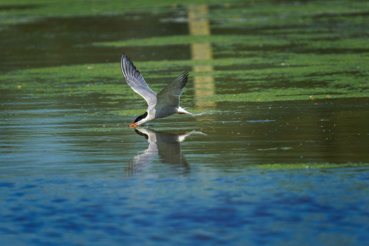Common Tern(Sterna hirundo) - Drinking on the Wing