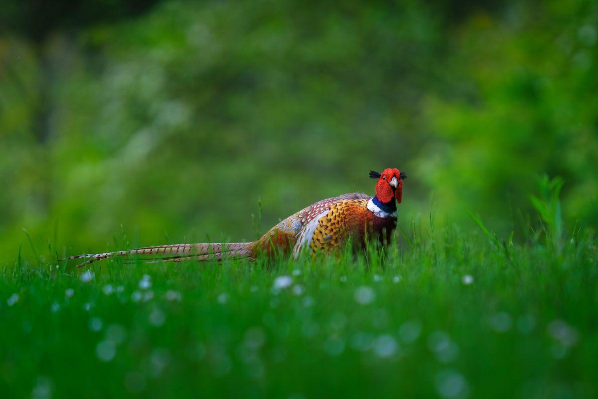 Male Pheasant(Phasianus colchicus) Passing through a daisy field