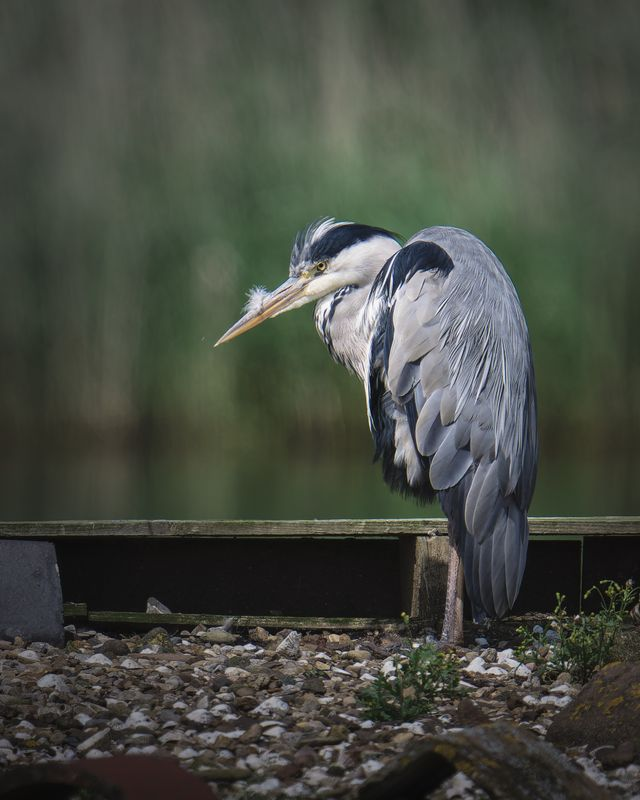Grey Heron(Ardea cinerea) - Annoying Feather