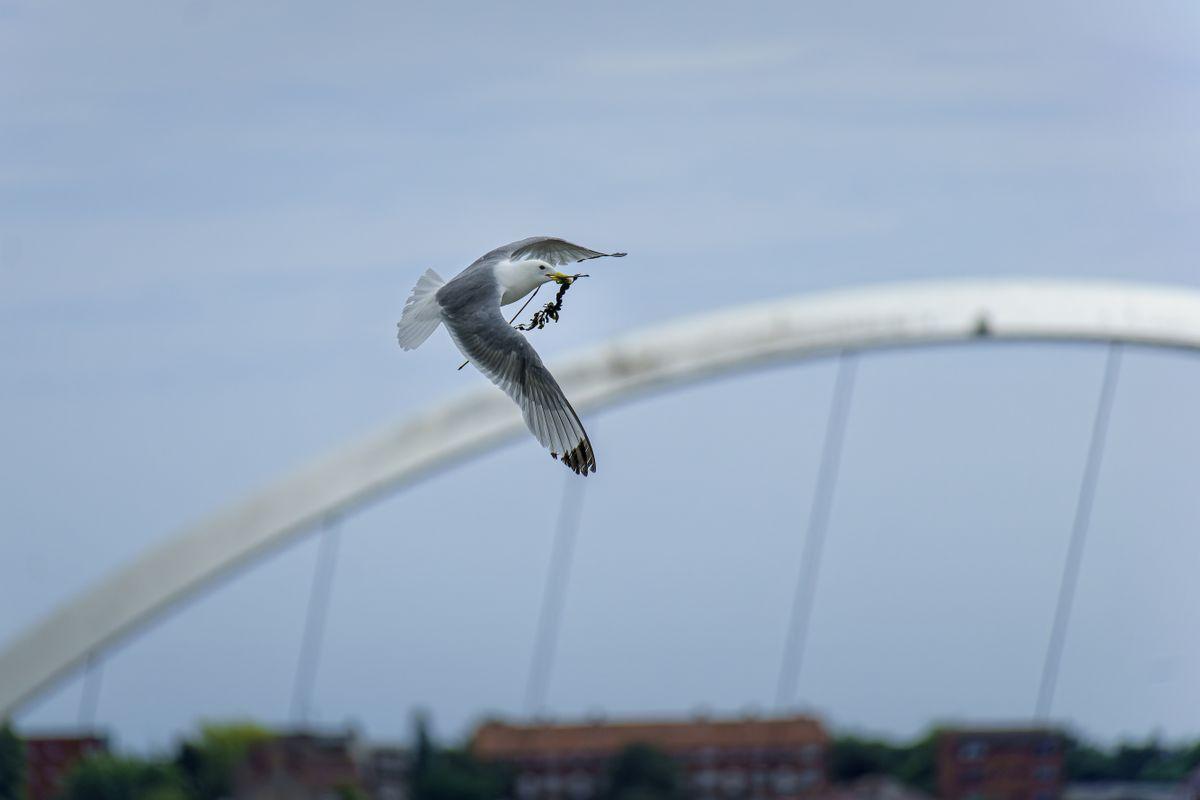 Kittiwake(Rissa tridactyla) - In Flight with Nesting Materials. Gateshead Millennium Bridge in Background.