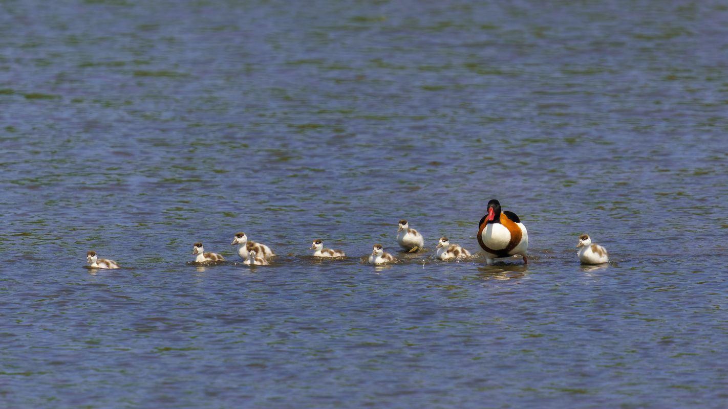 Shelduck(Tadorna tadorna) - Mother and duckling day out