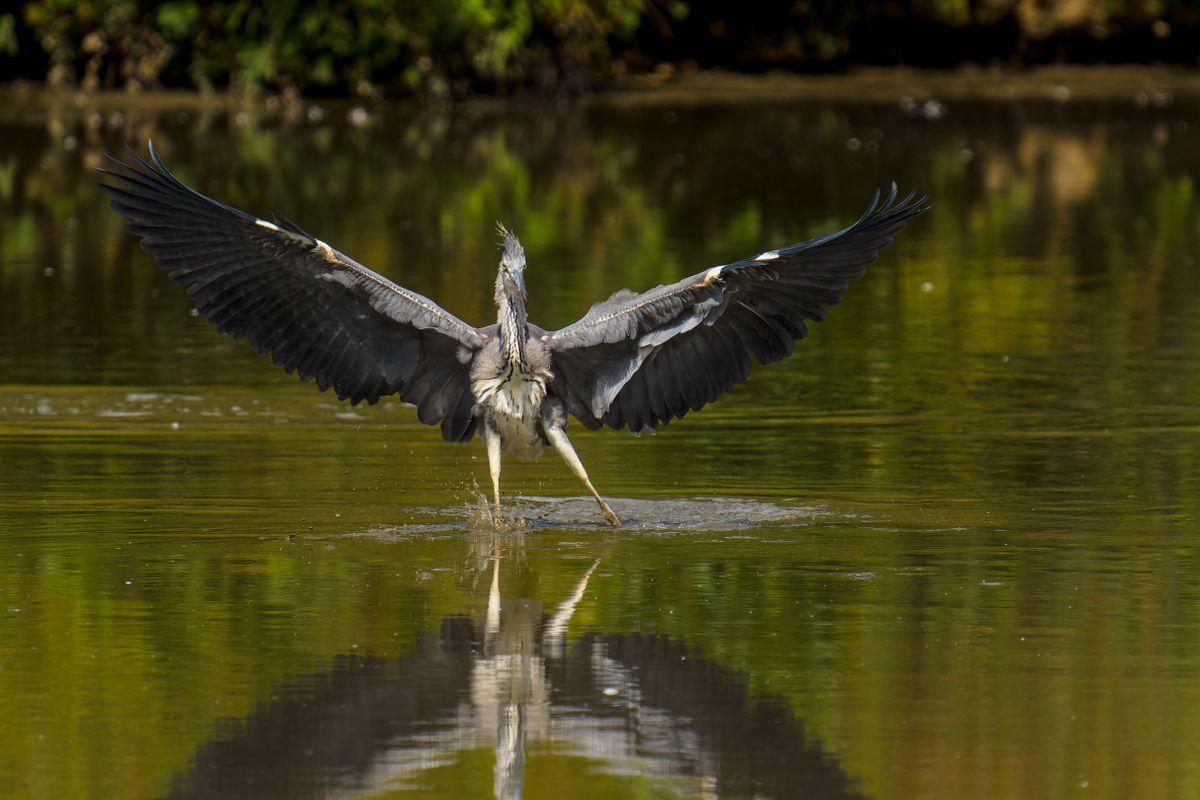 Grey Heron(Ardea cinerea) - Cha Cha Slide