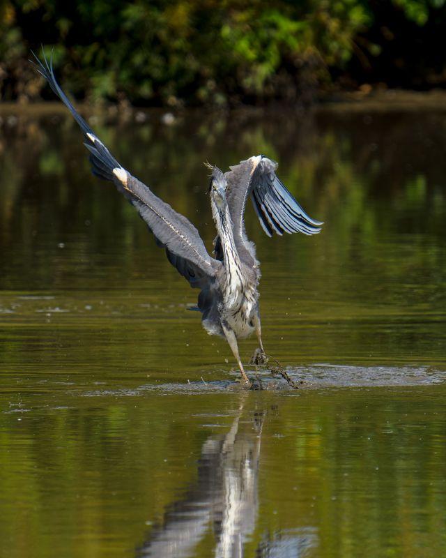 Grey Heron(Ardea cinerea) - Staying Alive