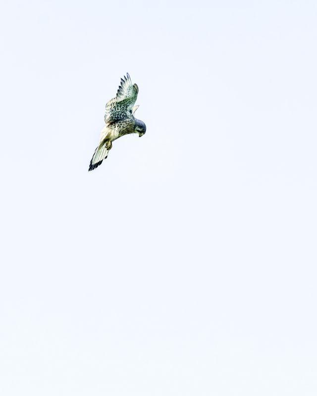Male Kestrel(Falco tinnunculus) - Hunting Art Print