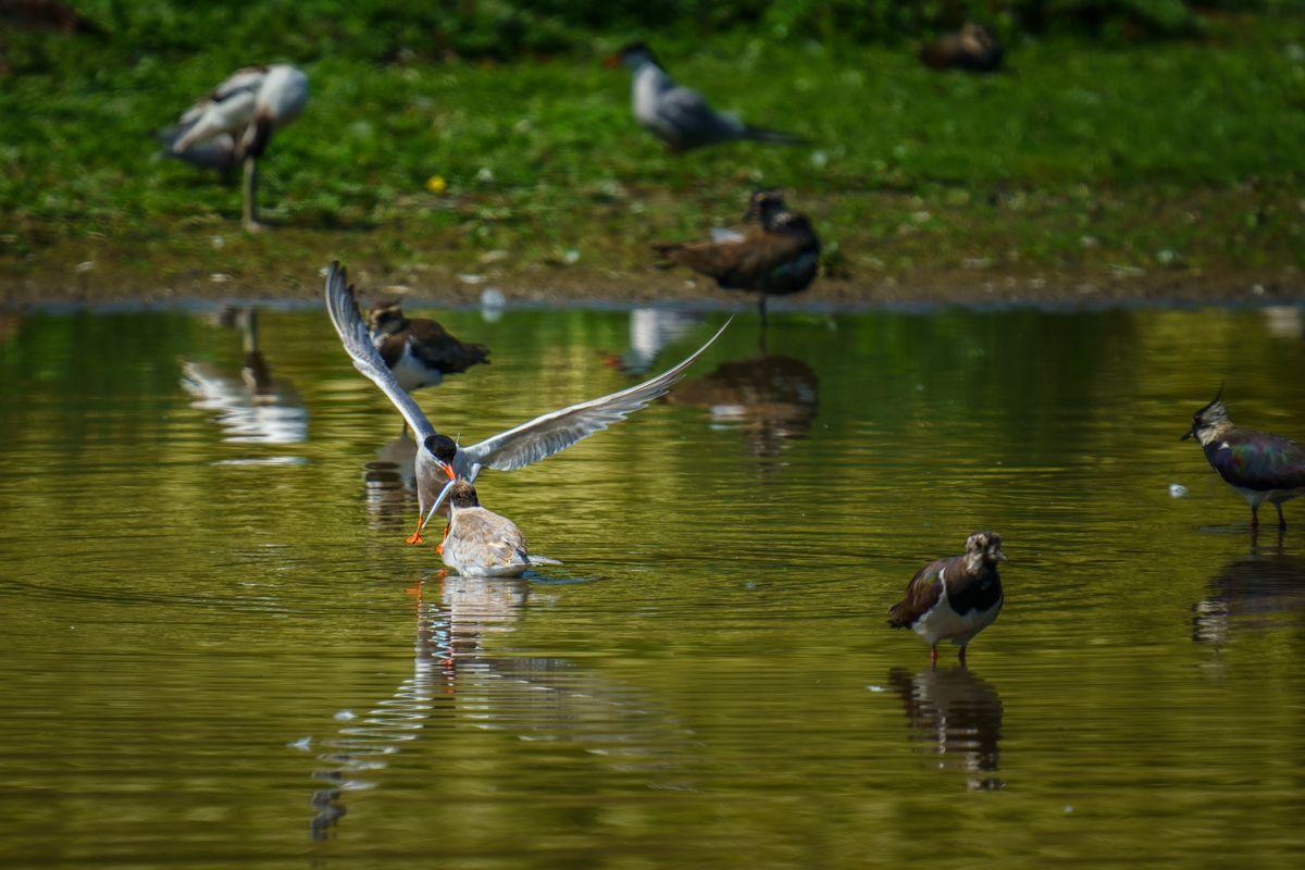 Common Tern(Sterna hirundo) - Adult Feeding Juvenile