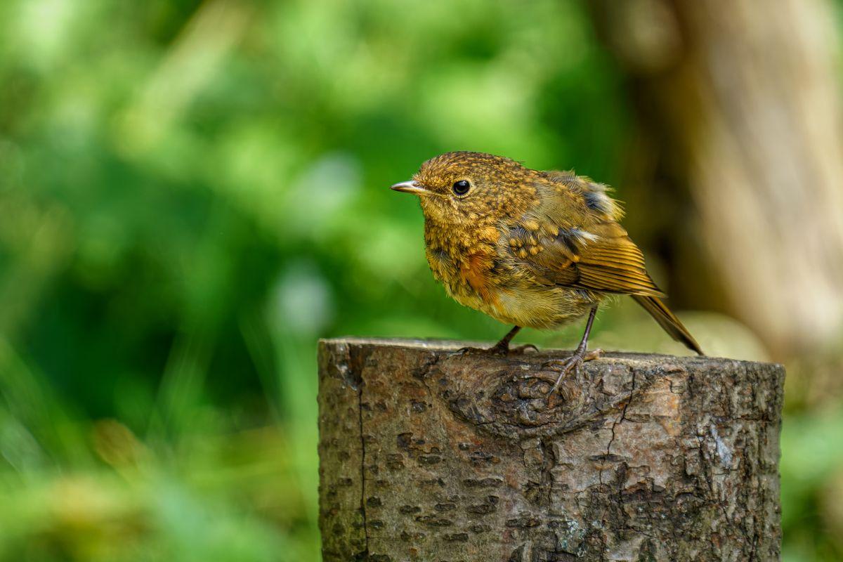 Juvenile Robin(Erithacus rubecula) - Mid Moult