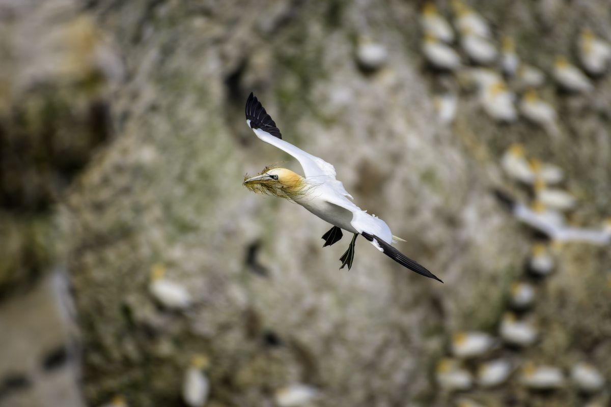Gannet(Morus bassanus) Coming into land with nesting material