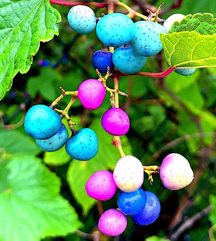 Berries of heartleaf peppervine