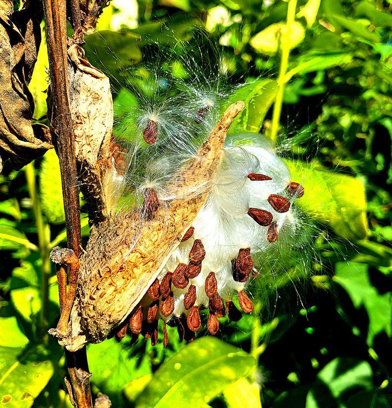 Common milkweed floss