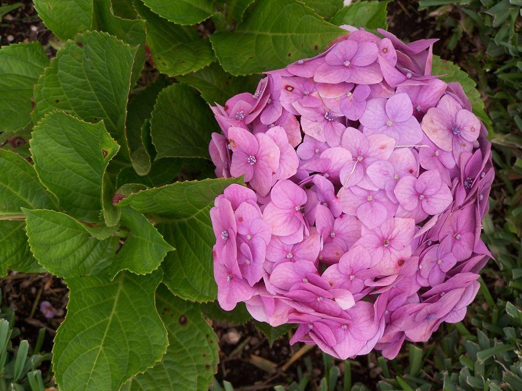 Hortensia-Hydrangea
