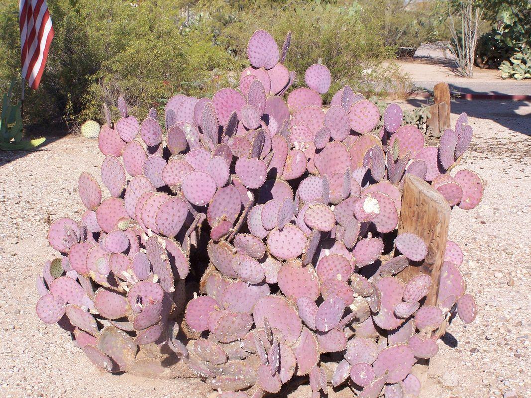 Purple Nopal Cactus