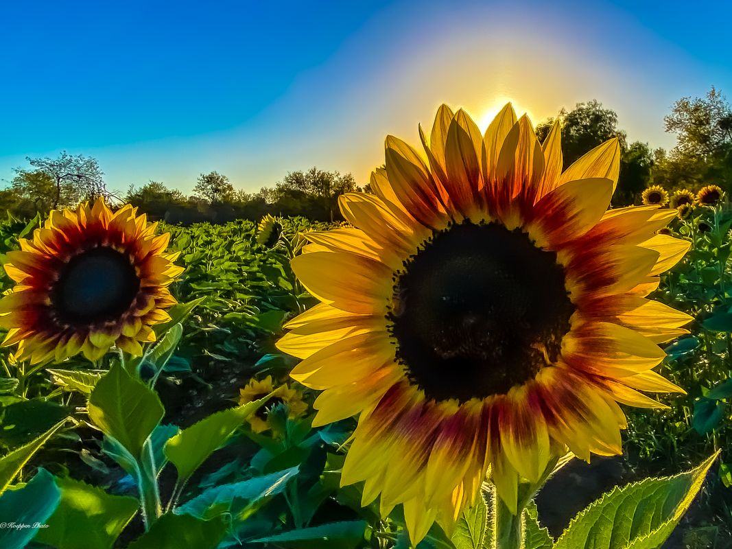 Your My Helianthus... Just Doesn't Sound the Same