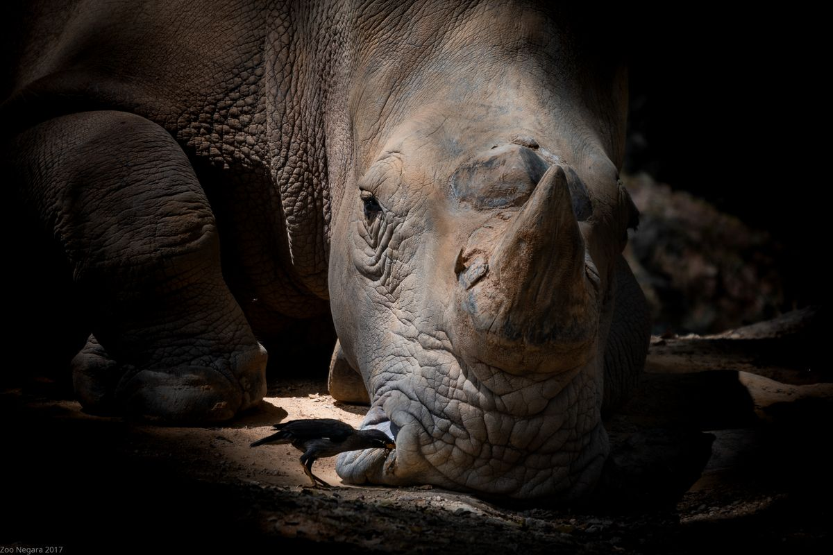 Bearding the Rhino in his den