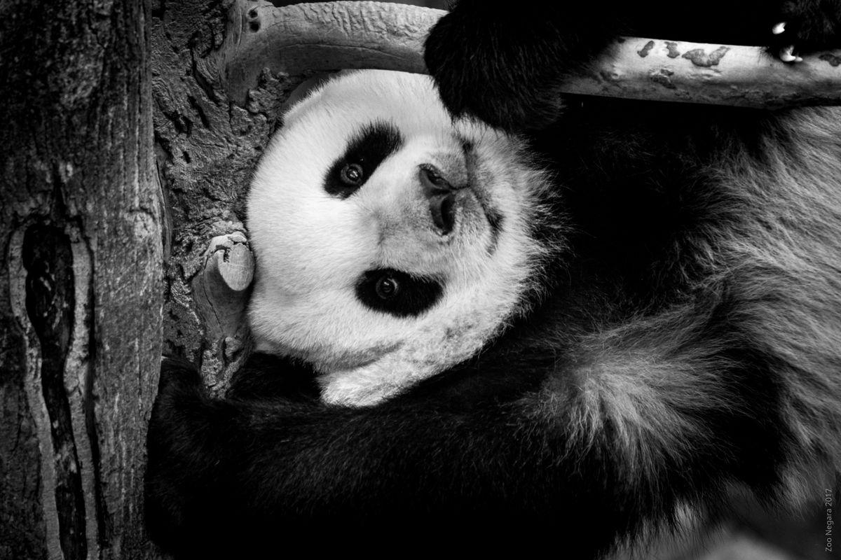 Naughty Panda Cub