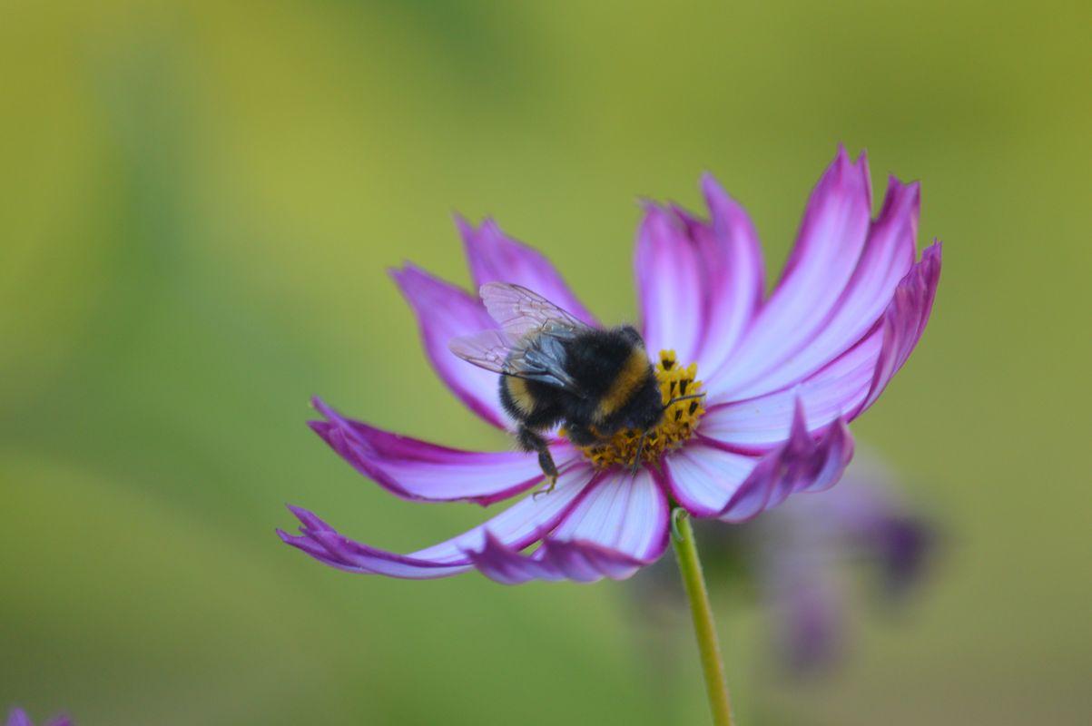 Bumblebee on purple-white flower