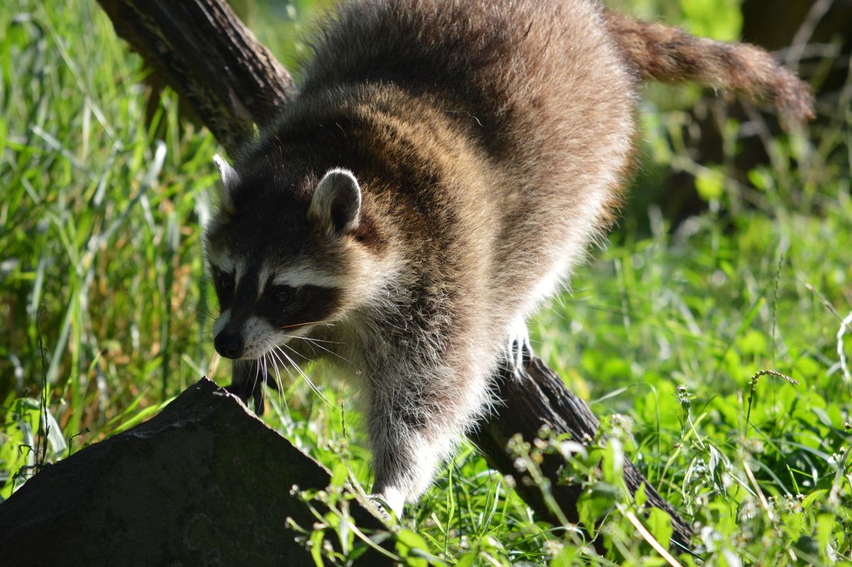The shadows of racoon