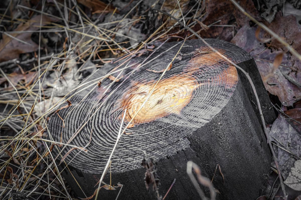 Burned stump (1 of 1)