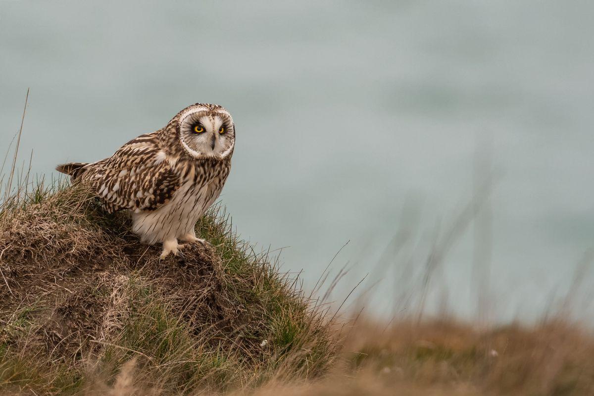 Short Eared Owl Resting