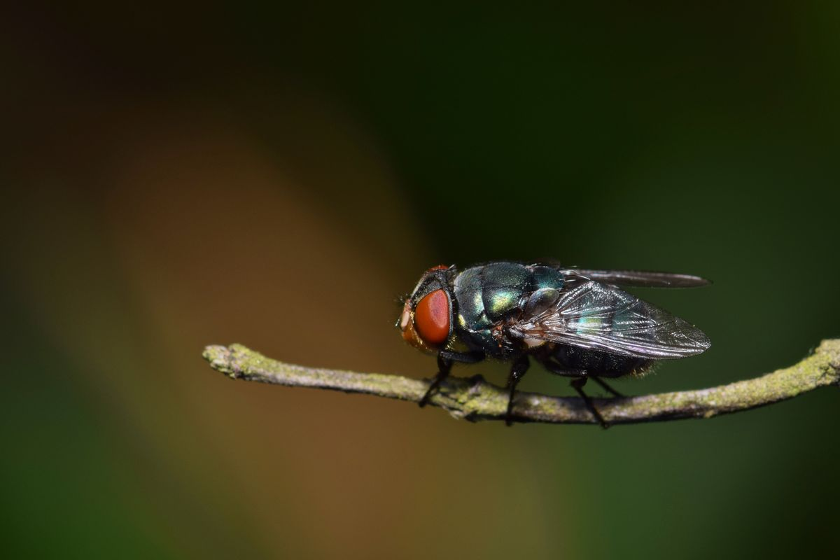 Bluebottle Fly (Lucilia sericata)