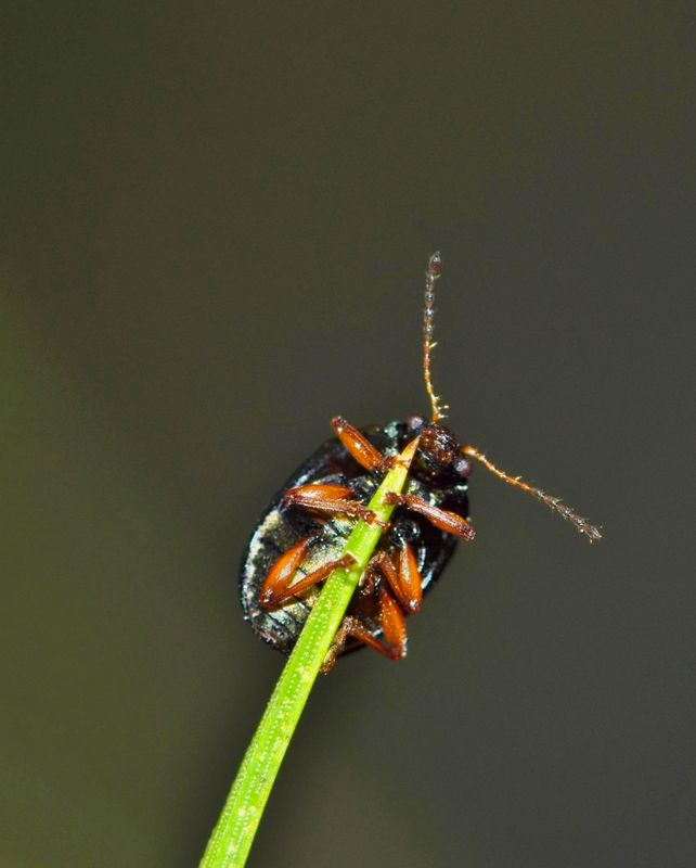 Tiny beetle at the tip of a pine needle.
