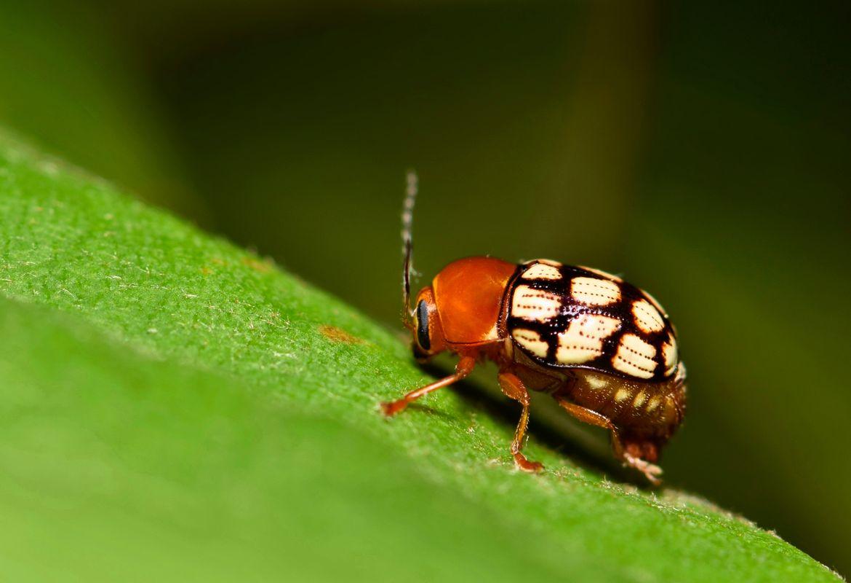 Cryptocephalus - guttulatellus