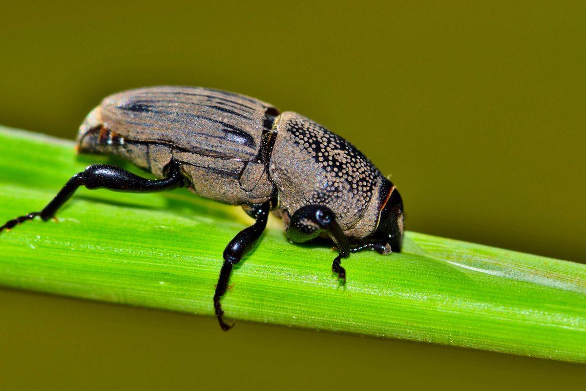 Hunting Billbug feeding