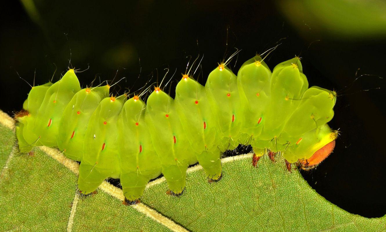Polyphemus Caterpillar