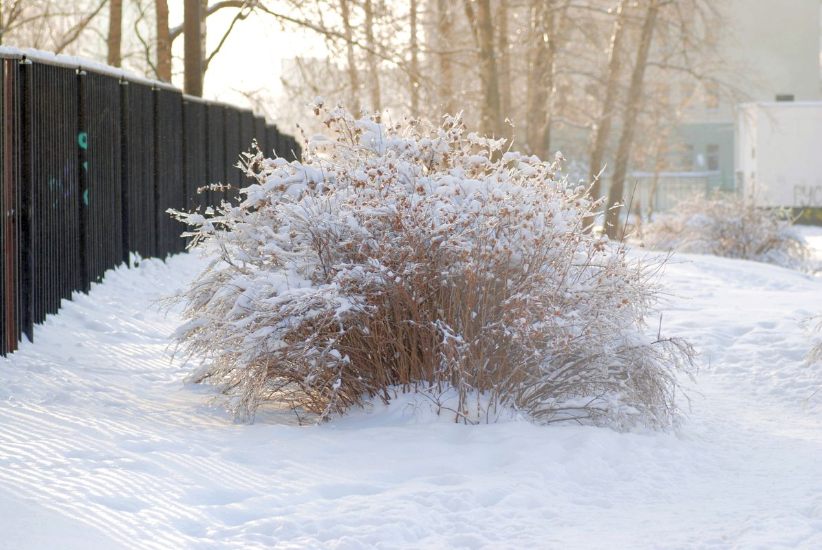 Snow on the bushes. Frosty morning 2.
