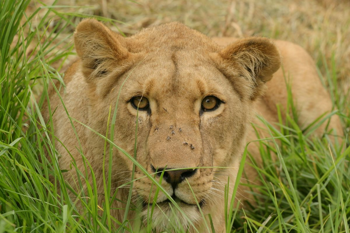 Close-up lioness