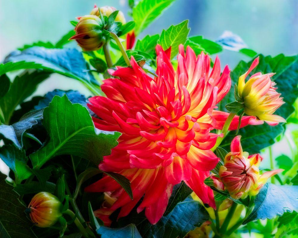 Dahlia-orange bicolor 03-03 2019