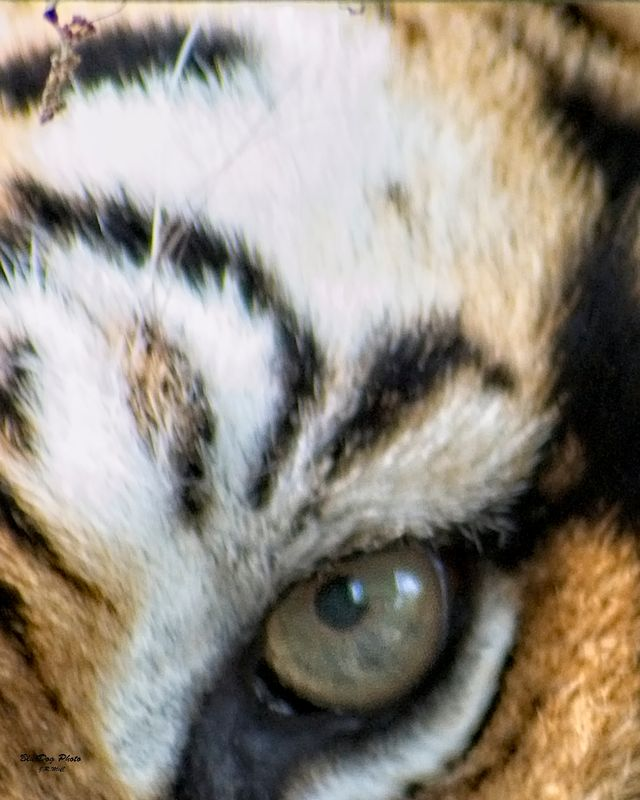 Eye of the tiger 04-06 2019