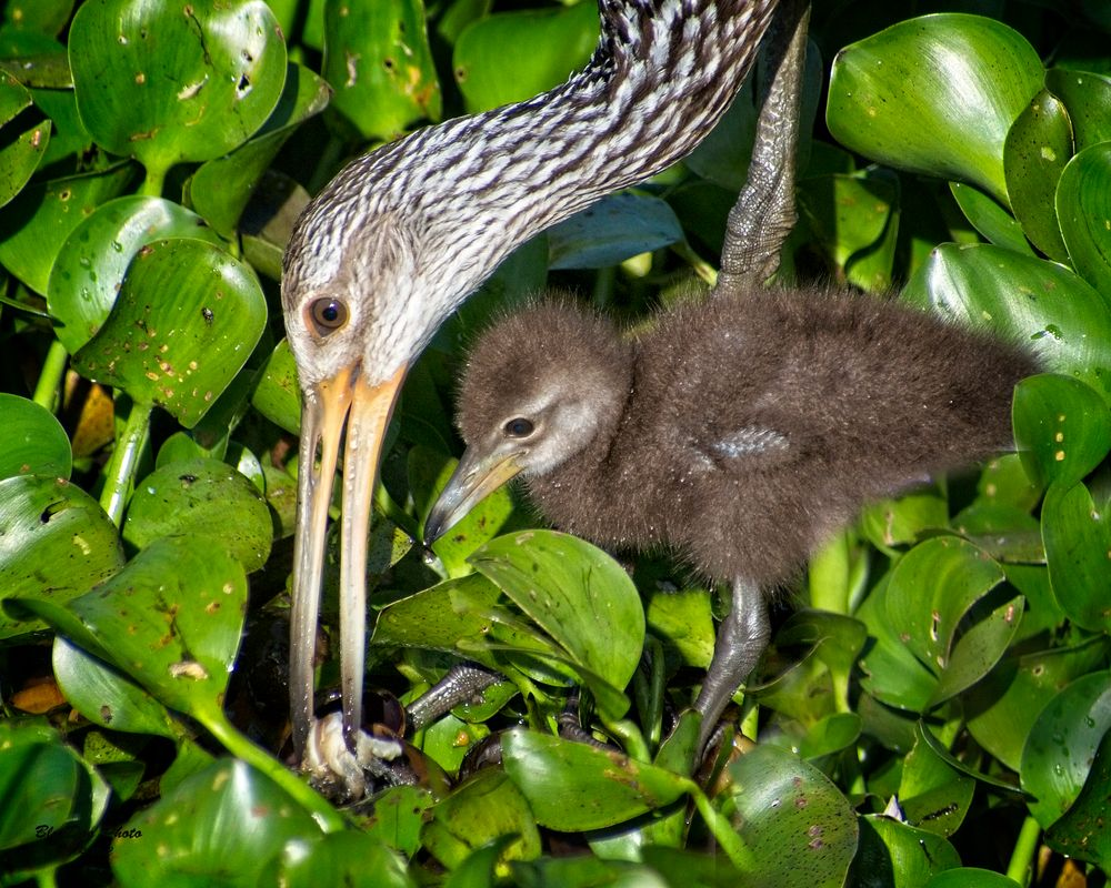 Mother and baby limpkin 04-03 2019