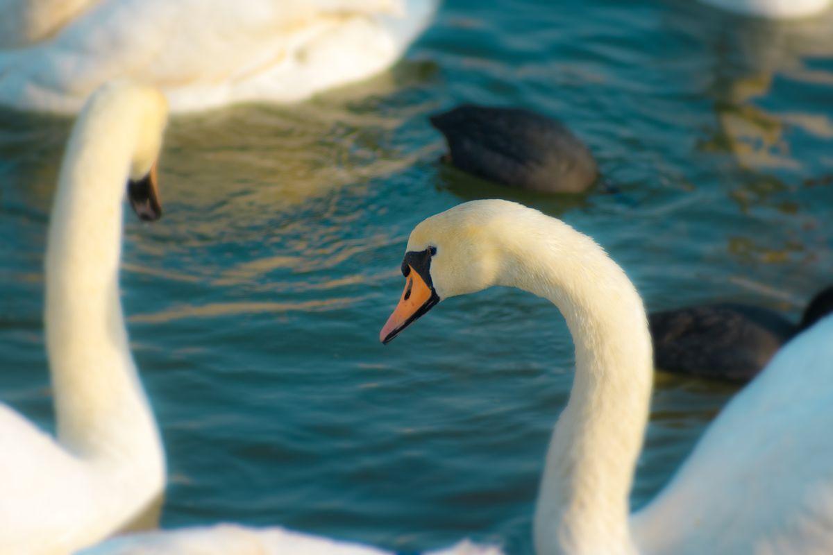 Graceful swans dreamy scene