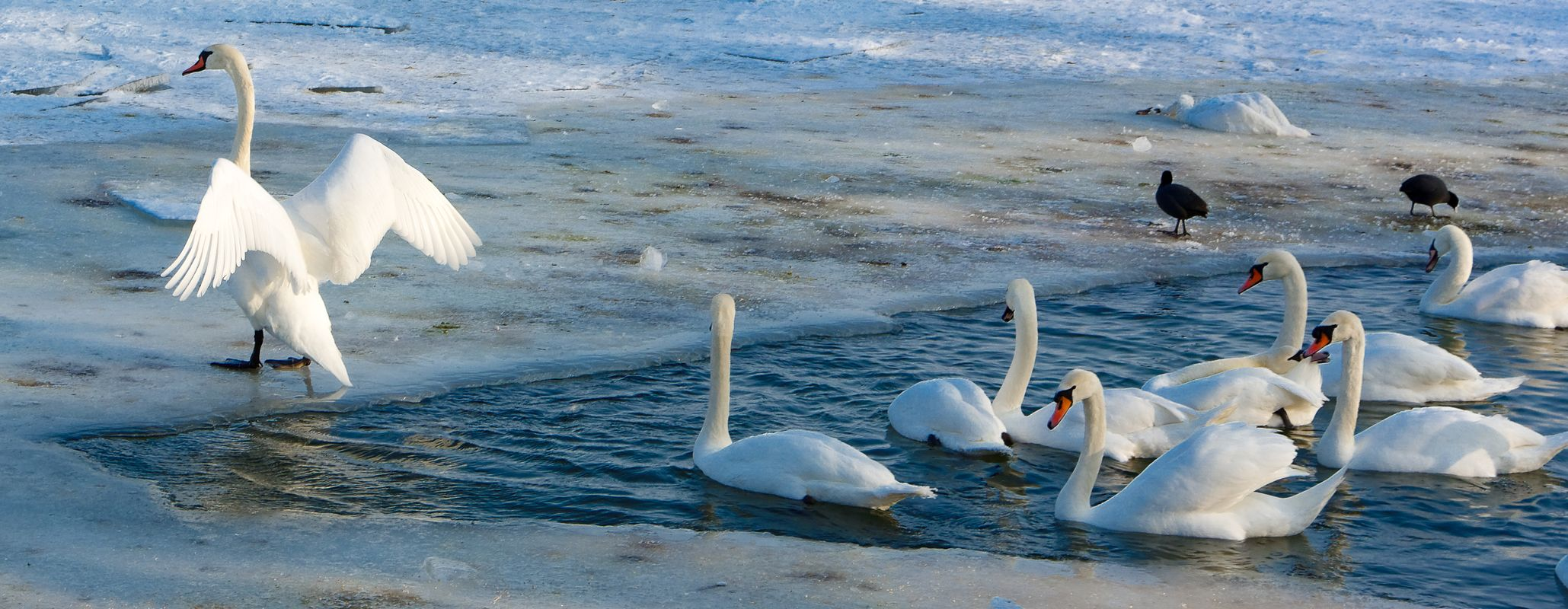 Swans on a frozen river