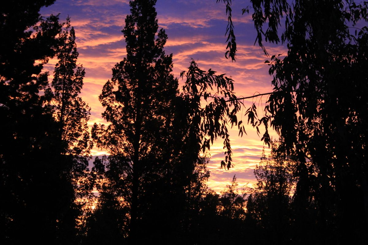 Sunset between the Pine Trees.
