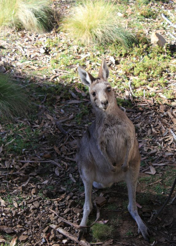 Kangaroo (aka The Red Frog Lolly Thief)