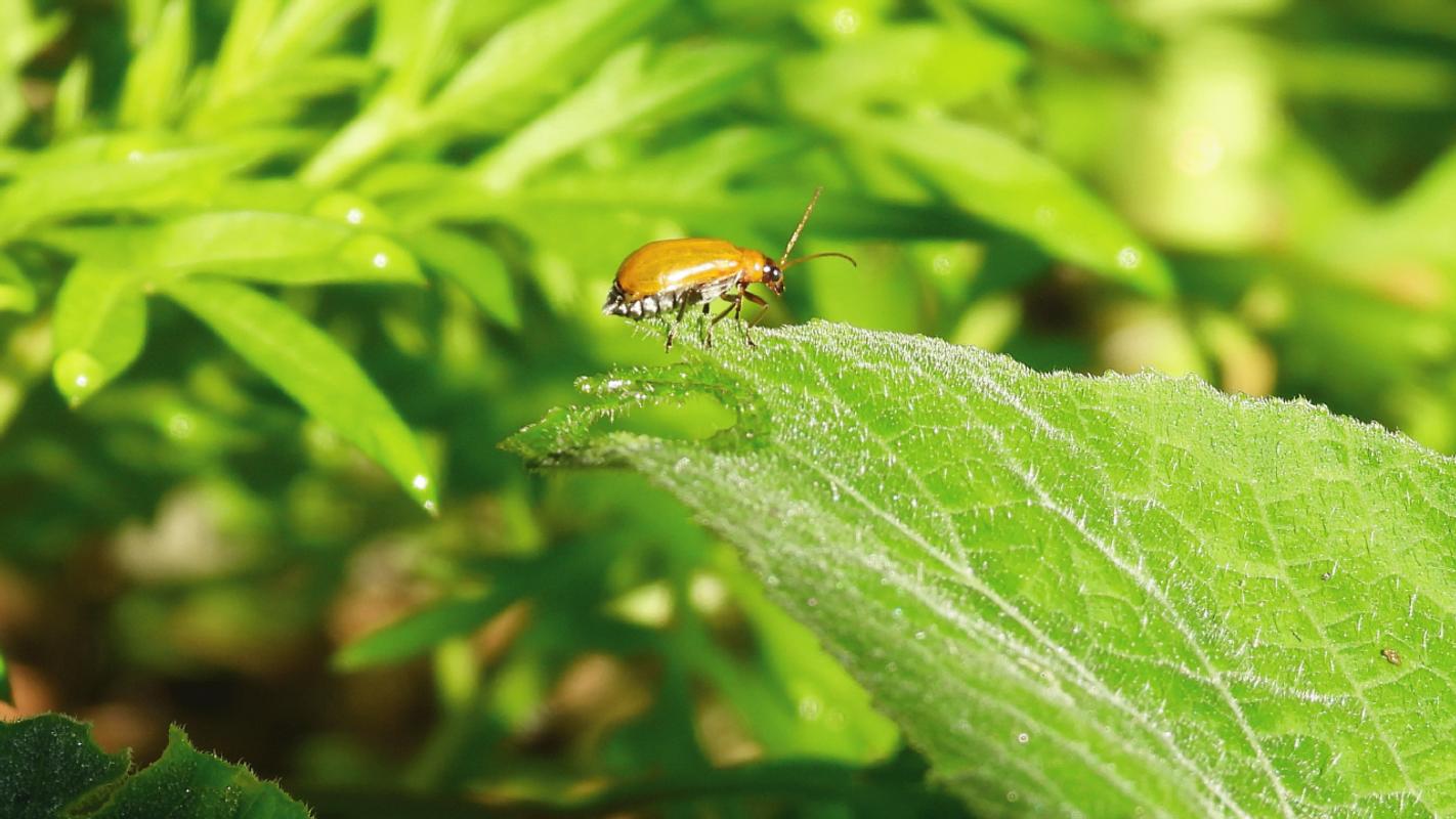 Cucumber Beetle(Flea Beetle)