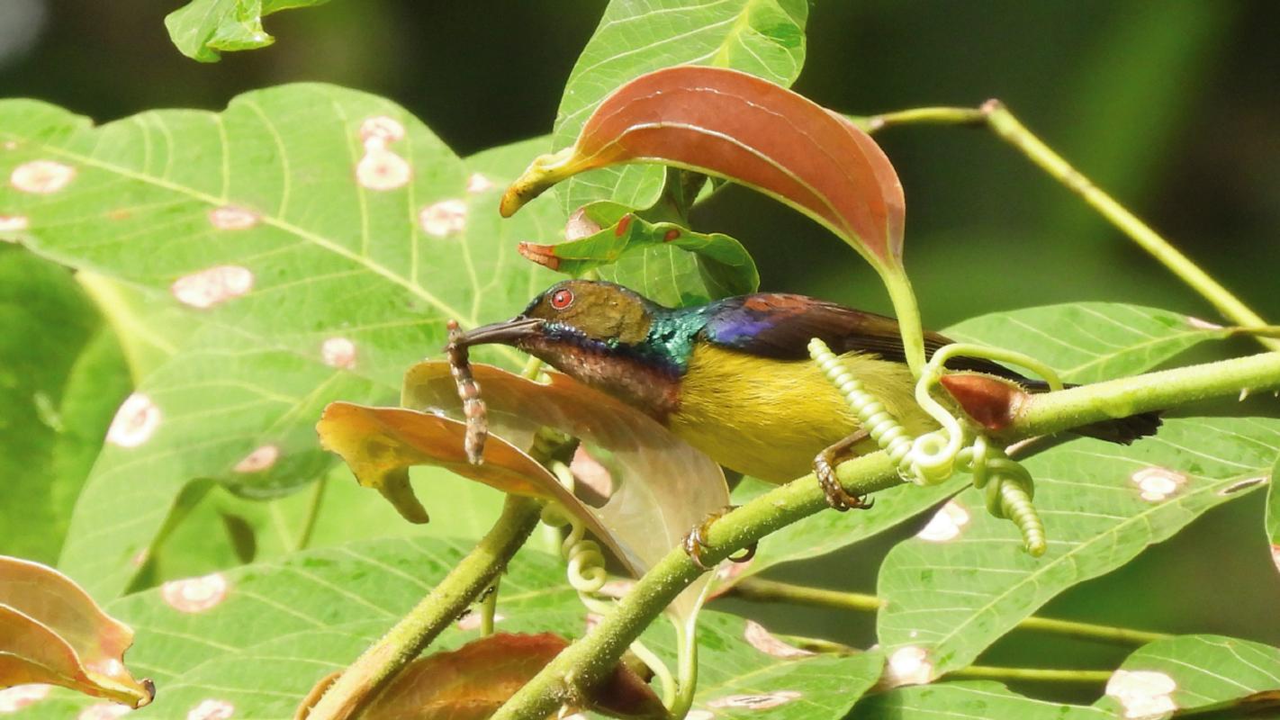 Kojack bird