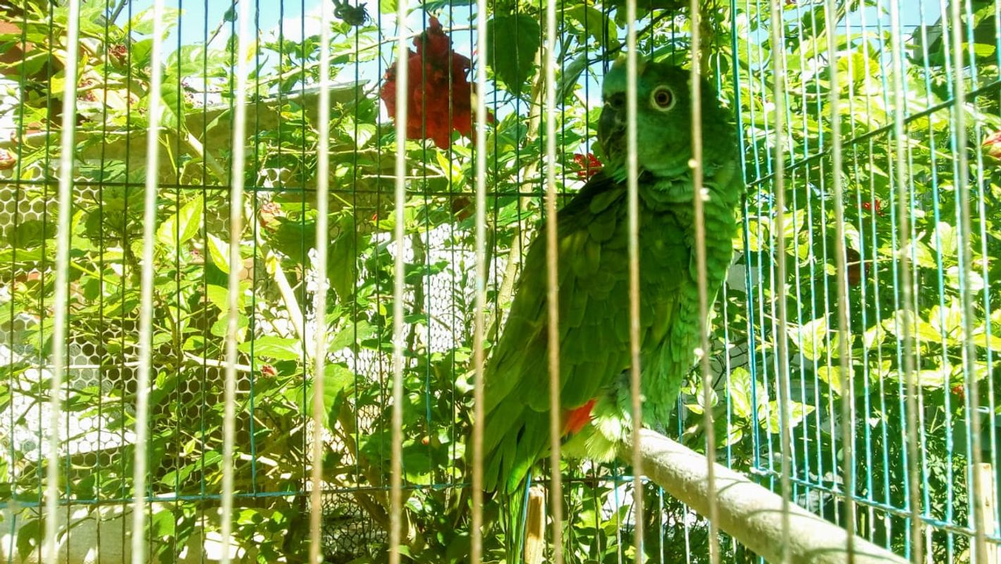 Ave papagaio