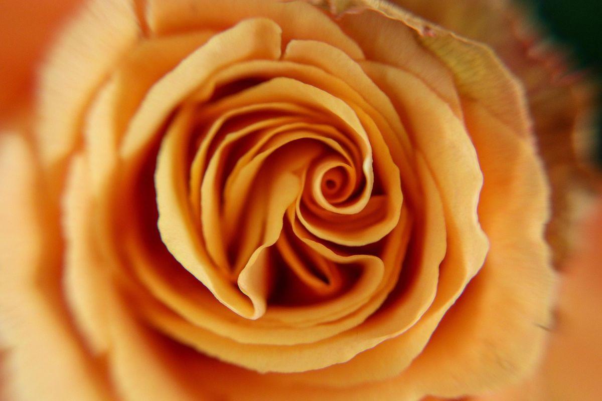 Macro Peach Rose Centre