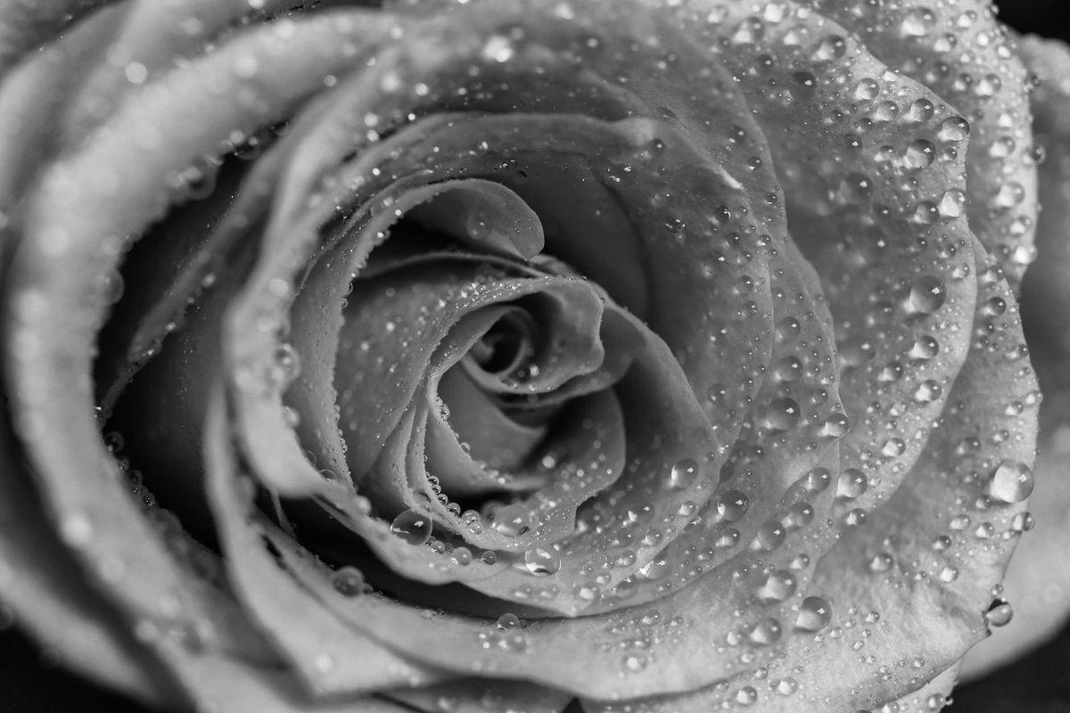 Close up  Black & White Rose