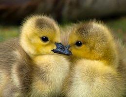 Animal-ducks